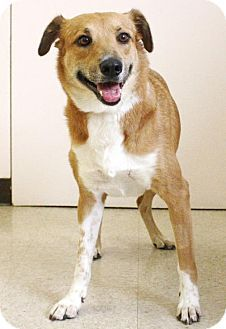 New York, NY - Hound (Unknown Type) Mix. Meet Foxy (Manhattan), a dog for adoption. http://www.adoptapet.com/pet/11664465-new-york-new-york-hound-unknown-type-mix