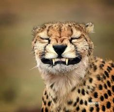 One of the greatest threats to the cheetah in the wild is human-wildlife conflict. Over 90 percent of cheetahs live outside protected… Smiling Animals, Happy Animals, Animals And Pets, Smiling Dogs, Nature Animals, Funny Animal Pictures, Cute Funny Animals, Cute Baby Animals, Cheetah Pictures