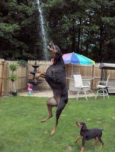 Jim Pedigo #Dobermanpinscher #Doberman #puppy