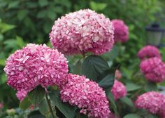 The Invincibelle® Spirit Hydrangea is the  first-ever pink 'Annabelle' hydrangea. As hardy and adaptable as 'Annabelle' but produces loads of hot pink flowers from early summer to frost.        For every plant sold, one dollar is donated to The Breast Cancer Research Foundation.  http://www.invincibellespirit.net
