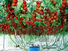 Vegetable Garden for the World: Italian Tree Tomato-Fact or Fiction