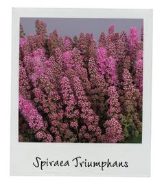 Spiraea Triumphans | New Arrival | Available in our webshop www.holex.com | Insights, your weekly floral update!