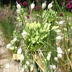 Gärtnerei Naturwuchs -- Allium -- Laucharten (H) -- Allium carinatum ssp…
