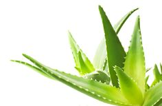 5 Amazing Benefits of Aloe Vera and How YOU Can Use it      By Megan Reeves What is Aloe Vera? Aloe Vera is a succulent plant thatis a member ofthe Lily family. It is related to the some of your common kitchen staples, including:onions, garlic and turnips. Its origins are traced back to the warm, dry climates of Africa where it grows indigenously. Aloe Vera is highly [...]