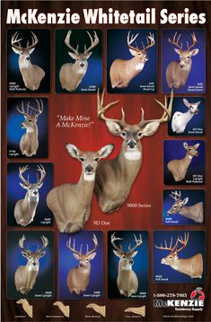 Mule deer shoulder mount positions for sexual health