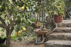 "The ""Lemon Man"" has a dog on his property that is used to protects the chickens from the fox, so that they can eat the snails from the vegetables that grow on the ground. All the animals (and people) has a job on the property, he explains. Down to the last chicken!"