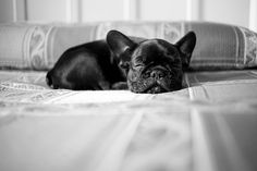 #cute #frenchie