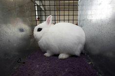 Cei mai drăgălași iepuri din America sunt și cei mai grași | VICE Romania
