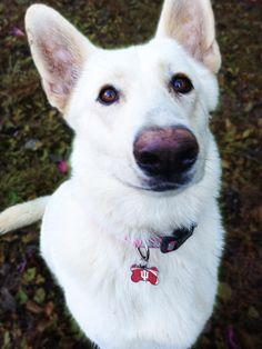 Our White German Shepherd, Sasha, and her wonderful mustache :)
