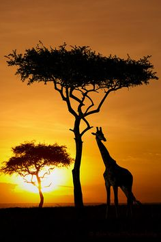 Safari Sunset, Maasai Mara, Kenya - Sunset + Acacia silhouette + giraffe, the African wallpaper Beautiful Sunset, Beautiful World, Animals Beautiful, Out Of Africa, Kenya Africa, South Africa Safari, African Safari, Belle Photo, Wonders Of The World