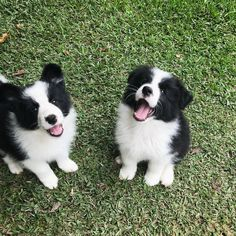 Puppies - Border Collies #BorderCollie