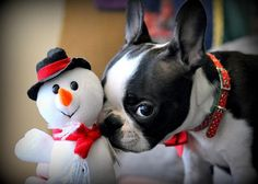 Obtain fantastic pointers on Bostons. They are actually readily available for you on our internet site. Boston Terriers, Boston Terrier Love, Christmas Animals, Christmas Dog, Merry Christmas, I Love Dogs, Cute Dogs, American Dog, Dog Pictures