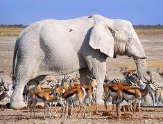 Resultado de imagen para albinism elephant