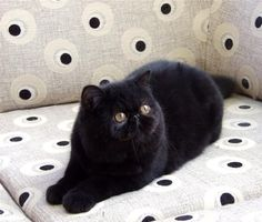 Black exotic shorthair cat.  Like a short haired persian. If we ever get another cat, this will be it!