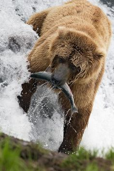The greatest threat to grizzlies today is human interaction. Bears are often killed by wildlife rangers once they frequent residential areas for easy meals or by hunters or hikers who encounter them & shoot in panic rather than use bear spray. The grizzly's habitat has been lost or degraded as a result of development, road-building & exploration. Climate change poses new challenges to the bears; they hibernate late, putting them on the landscape longer in the fall when shootings are most…