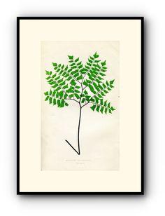 Edward Joseph Lowe Fern (Adiantum Trapeziforme) Antique Botanical Print, 1857 1st edition. Wood Block Engraving, Book Plate by TheOldMapShop on Etsy