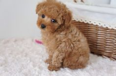 Find Out More On The Proud Poodle Dogs Temperament Baby Animals Super Cute, Super Cute Puppies, Cute Little Puppies, Cute Little Animals, Cute Dogs And Puppies, Baby Dogs, Doggies, Baby Animals Pictures, Cute Animal Photos