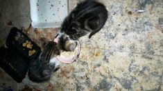 Twins Kitties Drinking Milk First Time , kitties are really cute and they are adorable to play and have fun with them , In this video My fofa cat teaching he. Healthy Milk, Drinking Milk, Cat Work, Mother Cat, Organic Recipes, First Time, Twins, Have Fun, Kitty