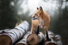 Fox by Iza Łysoń Arts