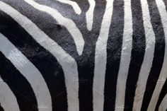 Zebra skin Photos Detail of a black and white stripes on a zebra skin by byrdyak