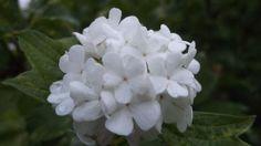 Photobucket - Little white flowers