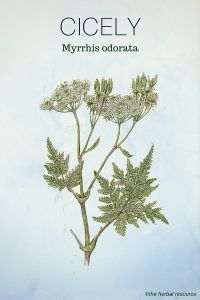 Holistic Remedies Cicely - Medicinal Herb - Information on the traditional uses, therapeutic properties, health benefits, dosage and side effects of the medicinal herb cicely (Myrrhis odorata)