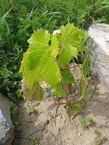 Vysněná zahrada: Co by měl laik vědět o pěstování vinné révy (v malém) I. Vines, Rv, Herbs, Gardening, Plants, Motorhome, Lawn And Garden, Herb, Arbors