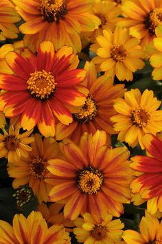 Fleuroselect Gold Medal Winning Flowers for 2014: Zinnia 'Zahara Sunburst'