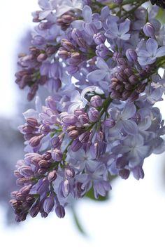 Lilac gardens in Woodland, Washington