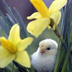 Spring cannot be without a cute baby chick ;)