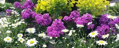 Gorgeous purple phlox, Shasta Becky Daisies, and golden smokebush. These colors look wonderful together!