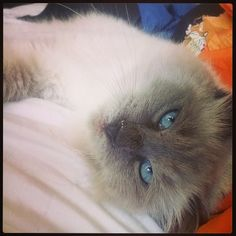 The beautiful iggy ragdoll Romanian rescue cat , now with a loving home Rescue Dogs, Cats, Animals, Beautiful, Gatos, Kitty Cats, Animaux, Animal, Cat