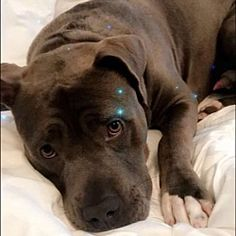 New York, NY - Pit Bull Terrier. Meet BISHOP a Dog for Adoption.