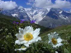 Pulsatilla Alpina