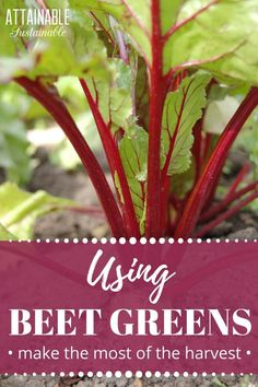 """Wondering how to use beet greens? They're not a common """"vegetable"""" but they're perfectly edible! Here's how to add some beet greens to your next meal. Raw Beets, Fresh Beets, Top Recipes, Veggie Recipes, Cooking Recipes, Beet Green Recipes, Cooking Beets, Asparagus Salad, Greens Recipe"""