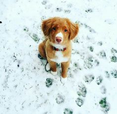 Nova Scotia Duck Tolling Retriever Pup ~ Classic Look Cute Puppies, Cute Dogs, Dogs And Puppies, Doggies, Beautiful Dogs, Animals Beautiful, Animals And Pets, Cute Animals, Nova Scotia Duck Tolling Retriever