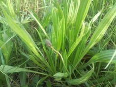 1 / Cueillette des herbes sauvages comestibles « mois après mois » - . Permaculture, Medicinal Plants, Flowers, Germination, Nature, Garden, Green, Plants, Herbs