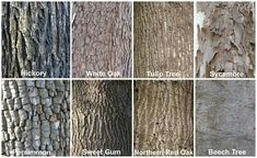 1000 images about tree identification on pinterest tree. Black Bedroom Furniture Sets. Home Design Ideas