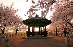 Cherry Blossoms @ Seol Olympic Park  © Emy Lam