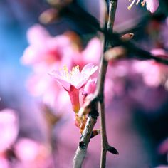 Cherry Blossom by *incolor16 on deviantART