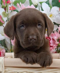 Gorgeous Choc lab