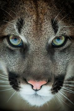 "Mountain lion.    (loveforearth:    ""Sinister"" by Justin Lo"