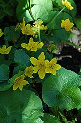 Marsh Marigold (Caltha palustris) at Stein Gardens & Gifts