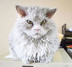Pompous Albert the latest angry cat sensation (Caters)
