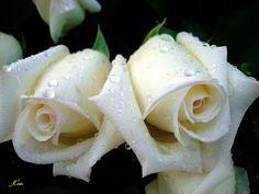 Aparecem as flores na terra, o tempo de cantar chega, e a voz da rola ouve-se em nossa terra; A figueira já deu os seus figuinhos, e as vides em flor exalam o seu aroma; levante-te, amiga minha, formosa minha, e vem. Pomba minha, que andas pelas fendas das penhas, no oculto das ladeiras, mostra-me a tua face, faze-me ouvir a tua voz, porque a tua voz é doce, e a tua face aprazível. Apanhai-me as raposas, as raposinhas, que fazem mal às vinhas, porque as nossas vinhas estão em flor. O meu…