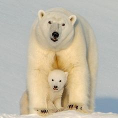 Female Polar Bear and Cub_ Animal Wise Facebook Page_ Photo Credit to Ricardo De Carvalho_16.11.21