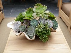 Shell planter with hens and chicks taken by Michele Nelson