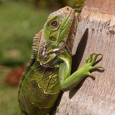 A perfectly still #iguana posing for a photo! #costarica #nature