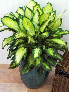 Image detail for -dozen fantastic foliage house plants