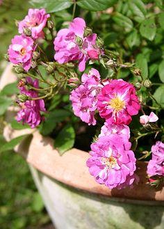 Mehrjährige Pflanzenfreude auf Balkon und Terrasse  http://www.tinto.de/tipps/topfgarten-uberwinternde-pflanzen-balkonien-und-terrassien/